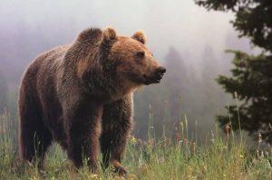 Ministerul Mediului finanţează pentru populaţie kituri complete de garduri electrice, destinate protecţiei în faţa urşilor bruni