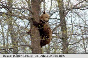 Președintele CJ Harghita: Bruxelles-ul nu sprijină exportul de urși; situația acestora trebuie rezolvată de fiecare stat în parte