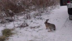 Fonduri de vânătoare, populate cu o sută de iepuri sălbatici aduşi din Ungaria