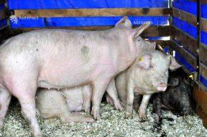 A fost confirmat al doilea focar de pestă porcina africană în judeţ, la Valea Crişului