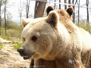 Aproape jumătate dintre urşii de pe fondurile de vânătoare nu au intrat în hibernare