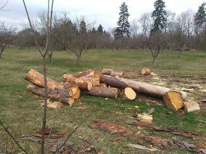 Centrul de Cultură Arcuş a sesizat Poliţia în legătură cu tăierea unor arbori din incinta fostului sediu