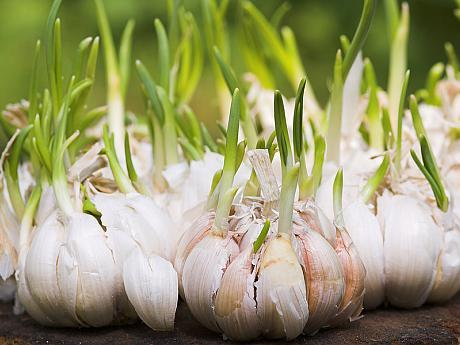 Interes tot mai mare pentru programul de susținere a producției de usturoi