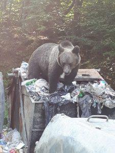 Jandarmii au intervenit luna aceasta de 12 ori pentru îndepărtarea urşilor din staţiunea Balvanyos