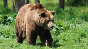 Comitetul pentru Situaţii Speciale de Urgenţă - măsuri pentru combaterea riscului generat de atacurile urşilor