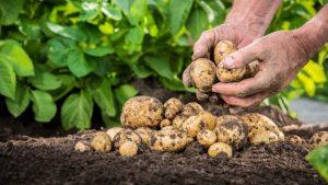 Suprafața cultivată cu cartofi, în creștere