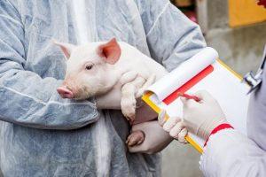Despăgubiri pentru exploatațiile covăsnene afectate de pesta porcină