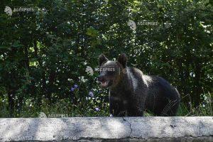 Senat: Ursul a fost inclus, pentru 5 ani, pe lista animalelor ce pot fi vânate în anumite condiţii