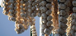 Producția de usturoi valorificată în județ depășește 35.400 de kilograme