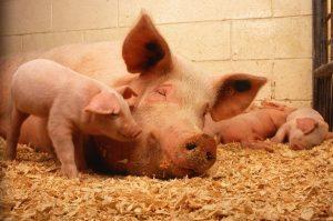 Noi cazuri de pestă porcină în zona Baraolt;toţi mistreţii din zona afectată vor fi lichidaţi