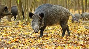 Încă trei cazuri de pestă porcină confirmate în zona Baraolt; autorităţile au dispus măsuri de biosecuritate