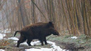 Un nou caz de pestă porcină depistat în zona Baraolt