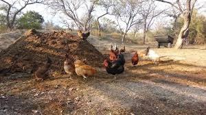 Lucrările agricole continuă:  fertilizare cu gunoi de pasăre