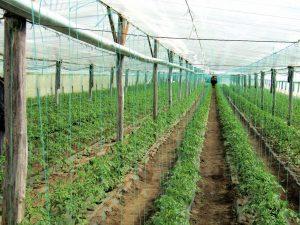 Oros: Comisia Europeană a aprobat majorarea plafonului alocat sprijinului cuplat pentru culturile de legume în spaţii protejate