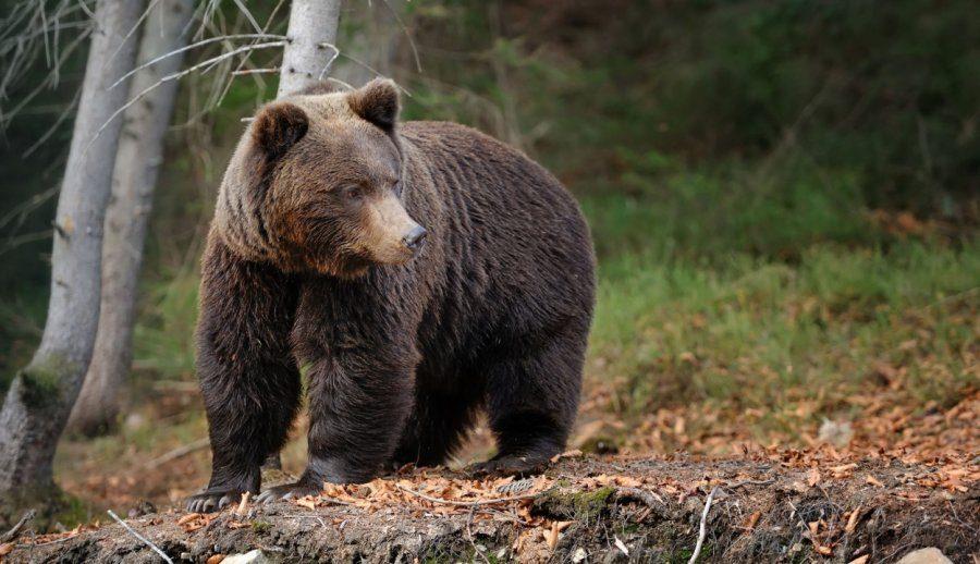 Un urs a intrat în mai multe locuinţe din comuna Malnaş; autorităţile solicită capturarea acestuia