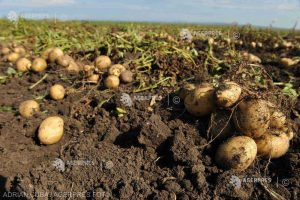 Direcţia Agricolă Covasna: Preţul cartofilor, la jumătate faţă de anii anteriori; fermierii preferă să amâne recoltarea
