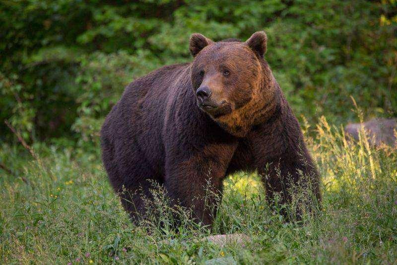 Copil de 8 ani, atacat de un urs pe o uliţă din localitatea Ghelinţa