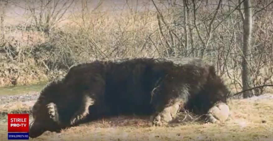 """Răsturnare de situație în cazul ursului Arthur. Ce spune prințul din Liechtenstein. Noi detalii în cazul ursului """"Arthur"""". Blana animalului, identificată într-o tăbăcărie din Târgu Secuiesc"""