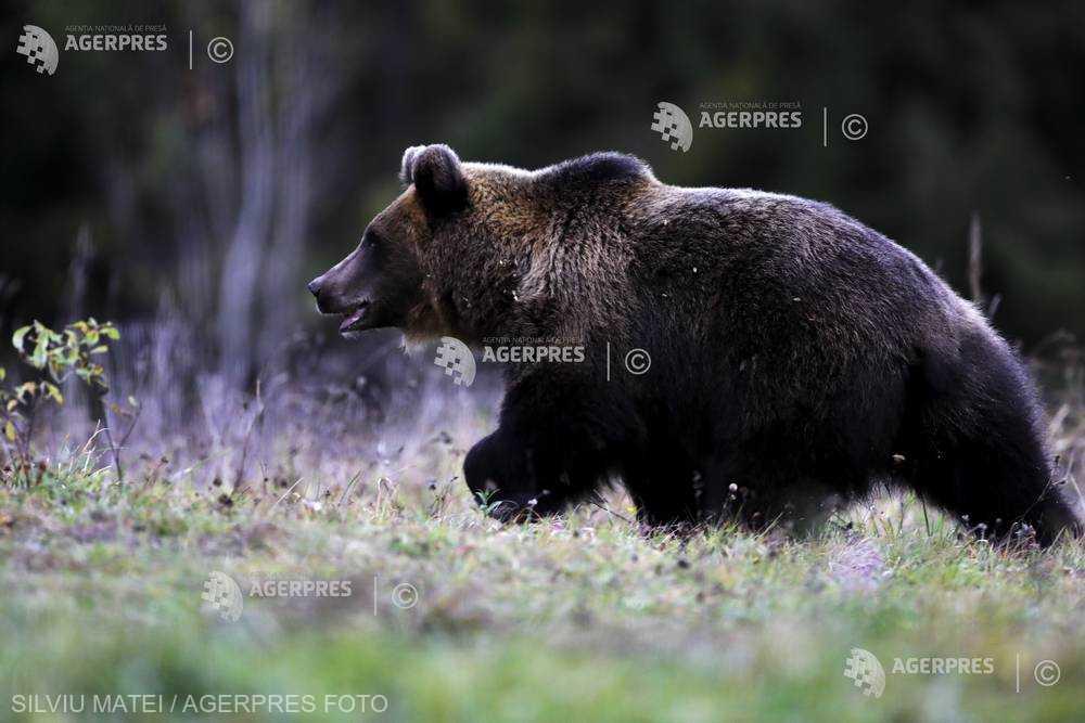 Ministrul Mediului: Cota de prevenţie la urşi nu trebuie transformată în cotă de vânătoare