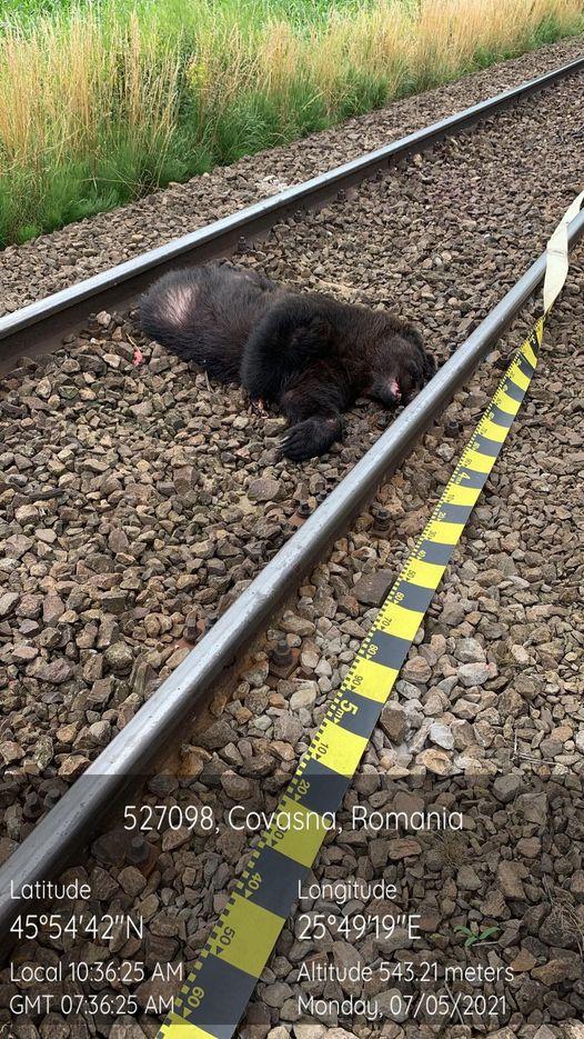 Urs accidentat mortal de tren la Ghidfalău
